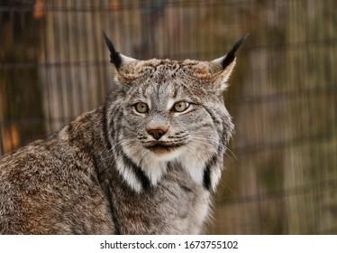 Canada Lynx is beautiful big cat gray brown.