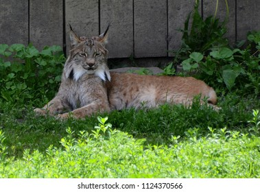 The Canada lynx or Canadian lynx is a North American mammal of the cat family, Felidae