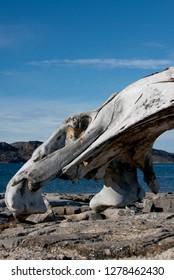 Canada, Nunavut, Qikiqtaaluk Region, Kekerten Island. Kekerten Historic Park preserves artifacts of whalers. Bowhead whale jaw bone. .