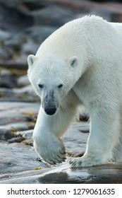 Canada, Nunavut Territory, Repulse Bay, Polar Bear (Ursus maritimus) patrolling along shoreline on Harbour Islands along Hudson Bay