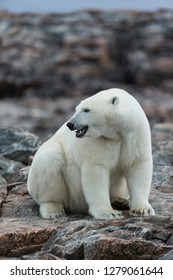 Canada, Nunavut Territory, Repulse Bay, Polar Bear (Ursus maritimus) sitting along shoreline of Harbour Islands near Arctic Circle along Hudson Bay