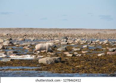 Canada, Nunavut, western shore of Hudson Bay, Kivalliq Region, Arviat. Young polar bear (Ursus maritimus) along the Hudson Bay shoreline.