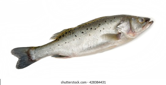 Canada Striped bass whole fresh fish, also called Atlantic striped bass, striper, linesider, rock or rockfish, product of Canada, isolated on white background.