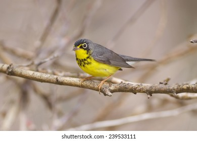 Canada Warbler perched on a tree in Spring