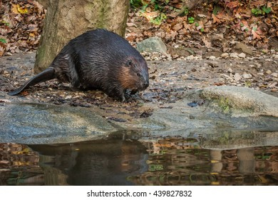Canadian beaver descends from the shore into the water.