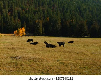 Canadian Black Angus AAA beef cattle in the Autumn filed