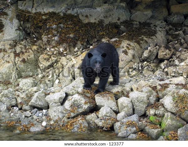 canadian black bear