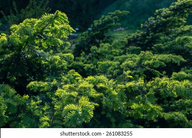 Canadian branch tree( Tsuga canadensis) background