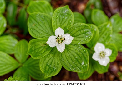 Canadian Bunchberry or Bunchberry Dogwood growing wild in the forest.