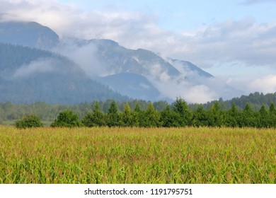 Canadian cornfields in the east end of the Fraser Valley near Abbotsford, British Columbia.