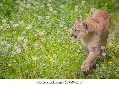 Canadian cougar among flowers. Big cat and flowers.