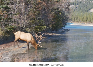 Canadian Elk drinking for mountain stream