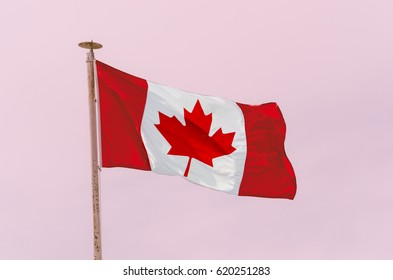 Canadian Flag in the wind over pink background