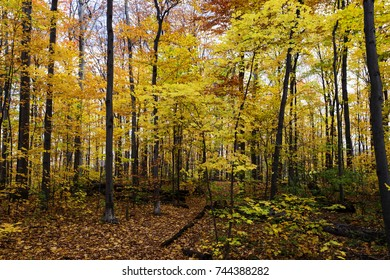 Canadian forest in october light, wide angle view