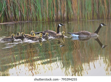 Canadian Geese with baby goslings swimming in a pond with a reflection of cattails in the water