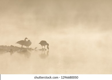Canadian geese (Branta canadensis) in mist on sunset