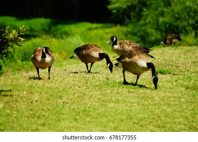 Canadian Geese Enjoying a Warm Summer Day