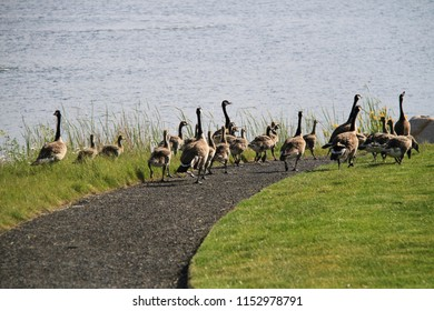 Canadian geese family. Canadian geese and their goslings walking together along Oquirrh Lake in Daybreak, South Jordan, Utah in USA during early summer.