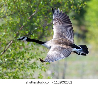Canadian Geese in flight, with background.