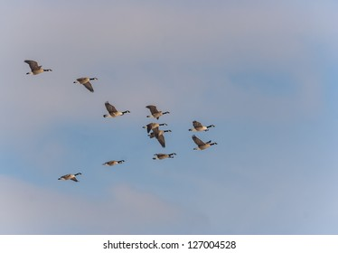 Canadian geese flying in formation in the late afternoon.