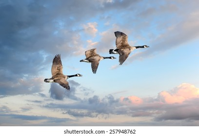 Canadian Geese flying into a sunset