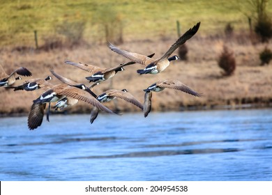 Canadian geese flying over a lake