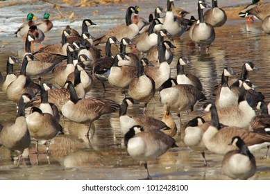 Canadian Geese (Goose) as seen on a frozen pond / lake in Saint Louis, Missouri, USA.  With ice cold waters, the colors of nature shines bright after a winter snap passes through the region.  Wonders.