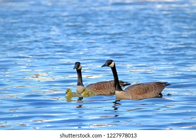 Canadian geese and goslings floating on clear blue lake in spring.