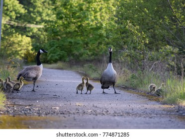 Canadian geese with goslings walking and looking around, these beautiful families are visible during the month of May in WA.