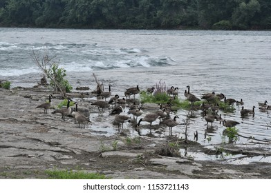 Canadian Geese having a townhall meeting near the rapids in the St Lawerence River, Quebec