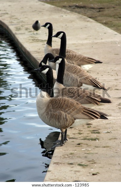 canadian geese line up along a man made pond