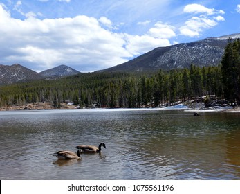 Canadian geese on scenic lake in Rocky Mountain National Park