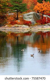 Canadian Geese on  the St. Lawrence River. 1000 Islands. Alexandria Bay, New York