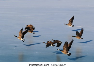 Canadian Geese over Lake Michigan at winter time