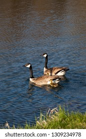 Canadian Geese parents take their newborn geese babies for a swim on a clam pond in springtime.