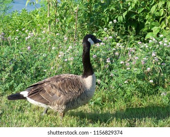 Canadian geese photography.
