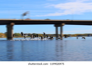 Canadian Geese taking off for flight making splash on the Saint John River  with bridge in Fredericton, motion blur