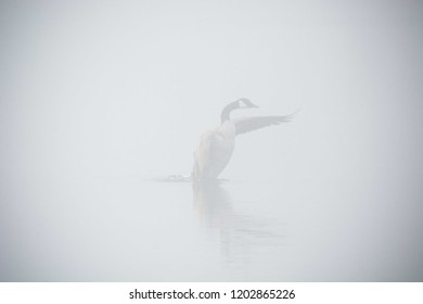 A Canadian Goose attempts a foggy flight