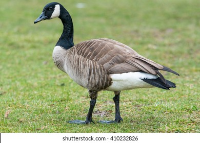 Canadian goose or Branta Canadensis eating green pasture near the pond.