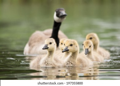 Baby Geese Images Stock Photos Vectors Shutterstock