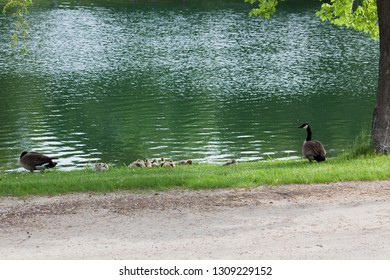 A Canadian Goose family with several fuzzy chicks resting in the green grass next to a pond in spring.