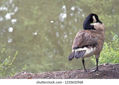 A Canadian goose with a flexible neck takes a rest by a murky pond