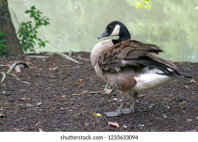 A Canadian goose fluffing its feathers by a murky pond