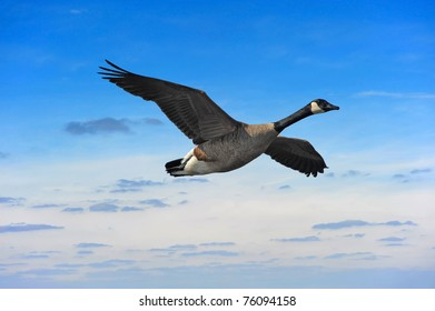Canadian goose flying against a sunset in Maryland