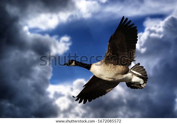 Canadian goose in free flight in front of the clouds