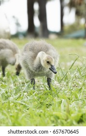Canadian Goose gosling on the grass