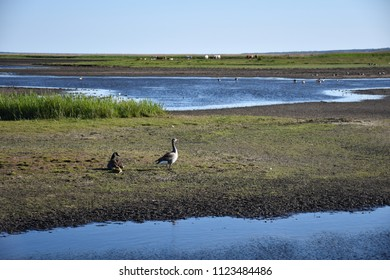 Canadian Goose and Greylag Goose with chickens in a wetland at the swedish island Oland