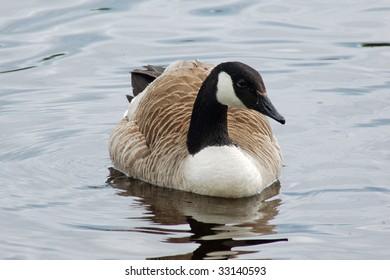 Canadian Goose, Imatra, Finland