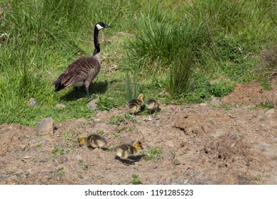 A Canadian Goose mother watches over her four babies as they forage for food on a spring day.