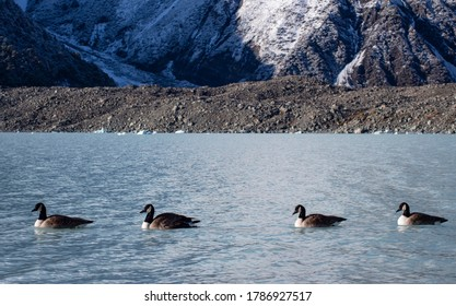 Canadian goose in Mt Cook National Park, Tasman Valley Track, New Zealand
